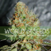 Afghan Kush Special Feminized Seeds (World of Seeds)