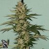 Banana Loaf FEMINIZED Seeds (The Plug Seedbank)