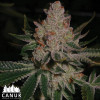 Do-si-dos Feminized Seeds (Canuk Seeds)