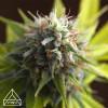 Gorilla Glue #4 Auto Feminized Seeds (Prism Seeds)