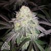 GSC x Chemdog #4 Feminized Seeds (Prism Seeds)