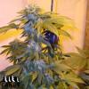 LA Confidential Feminized Seeds (Canuk Seeds) - ELITE STRAIN