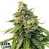 LSD Auto Feminized Seeds (Canuk Seeds) - ELITE STRAIN