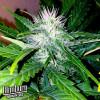 Sweety Automatic Feminized Seeds (BlimBurn Seeds)