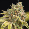 White Widow x Crystal Meth Auto Feminized Seeds (Prism Seeds)