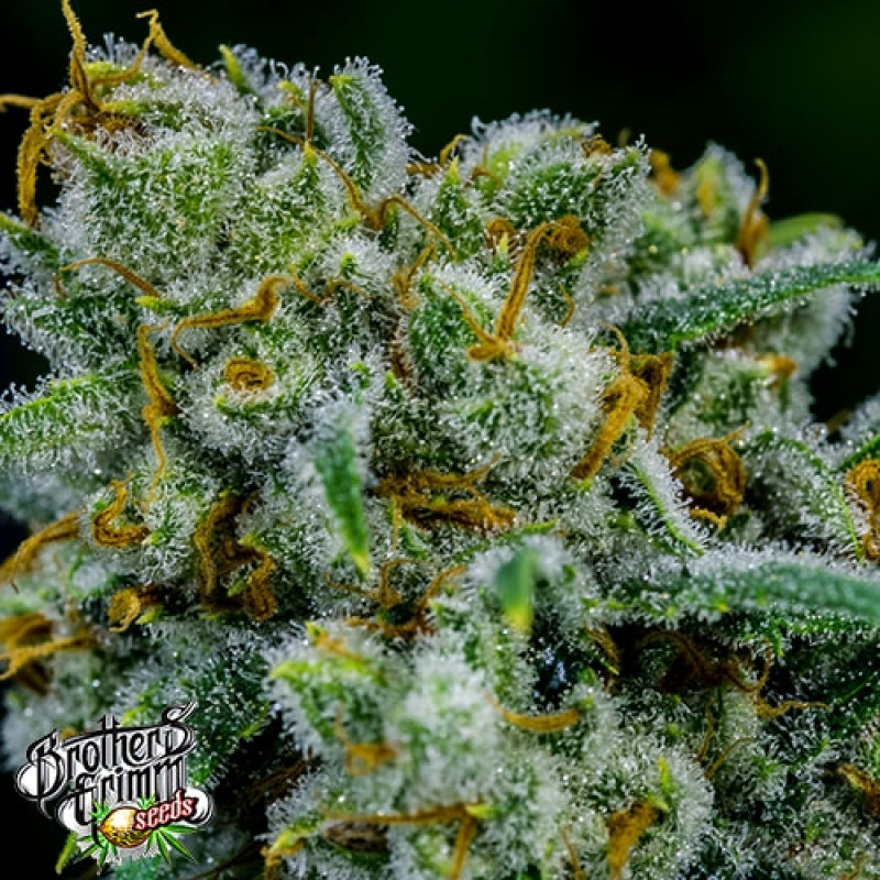Killer Queen XX FEMINIZED Seeds (Brothers Grimm Seeds) *Discontinued*