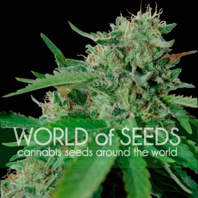 Brazil Amazonia Feminized Seeds (World of Seeds)