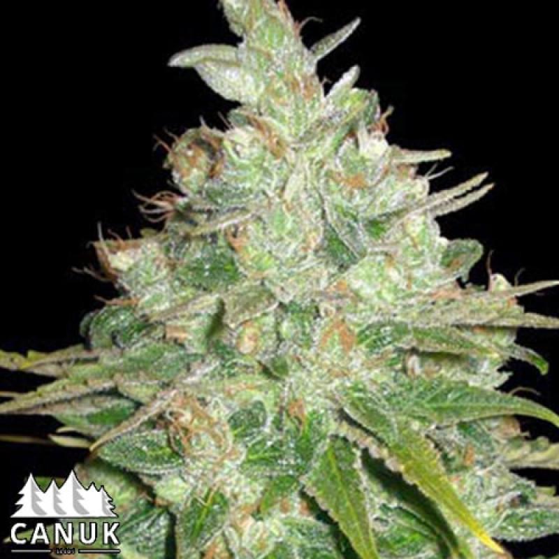 BubbleG Feminized Seeds (Canuk Seeds)