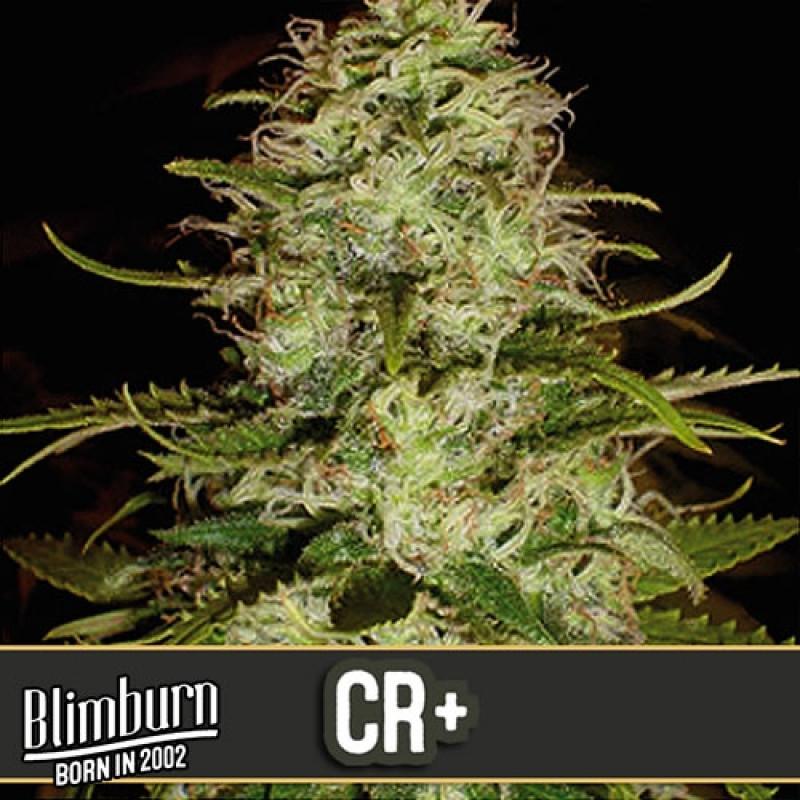 CR+ Feminized Seeds (BlimBurn Seeds)