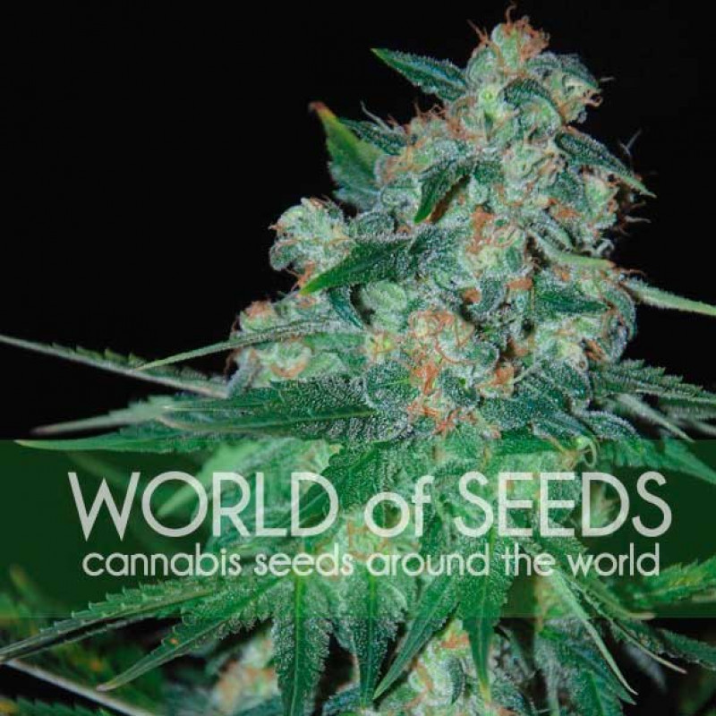 Ketama Feminized Seeds (World of Seeds)