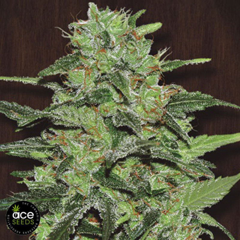 Malawi Breeders Pack FEMINIZED Seeds (Ace Seeds)