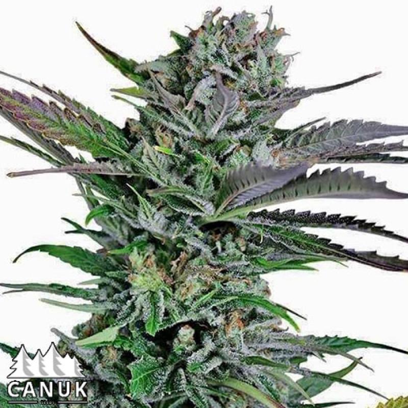 Mango Merengue Feminized Seeds (Canuk Seeds) - ELITE STRAIN