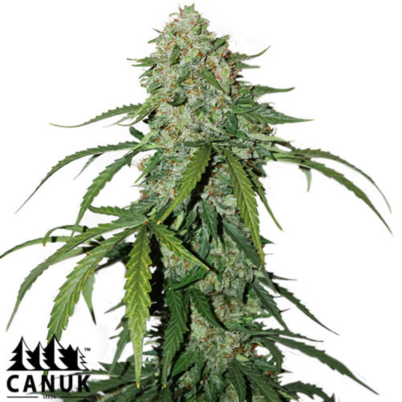 Pure CBD Auto Feminized Seeds (Canuk Seeds)