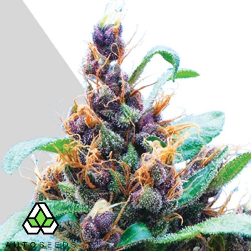AUTO Purple Stilton FEMINIZED Seeds (Auto Seeds)