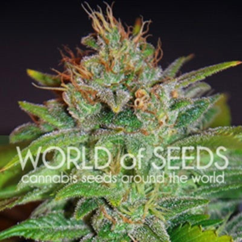 Skunk 47 Feminized Seeds (World of Seeds)