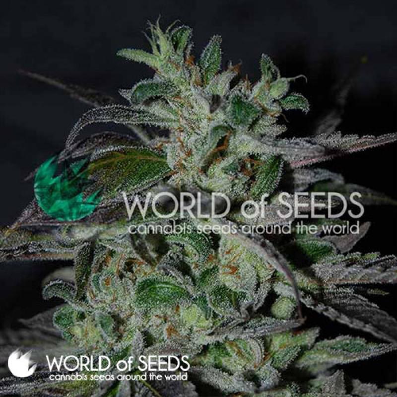 Strawberry Blue Early Harvest Feminized Seeds (World of Seeds)