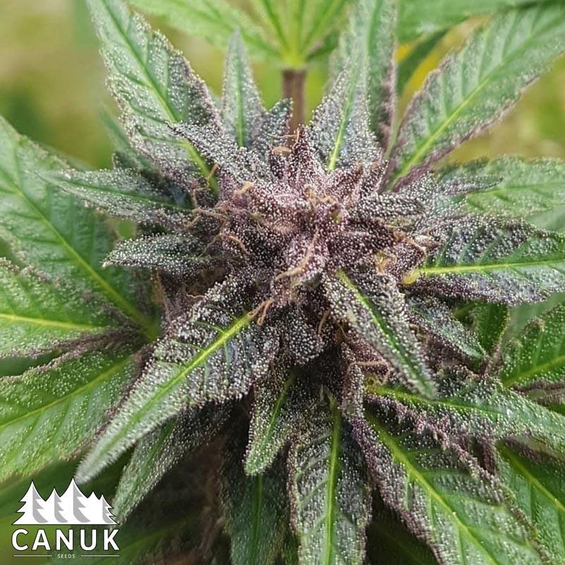 Tangie Scout Regular Seeds (Canuk Seeds)