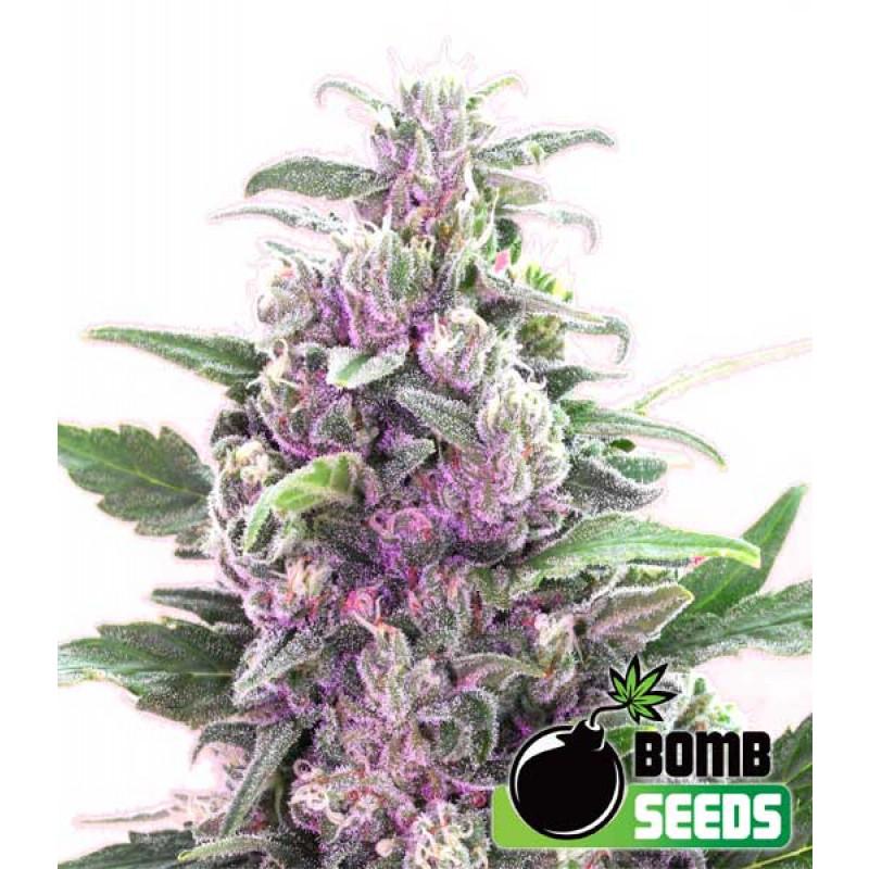 THC Bomb Autoflowering Feminized Seeds (Bomb Seeds)