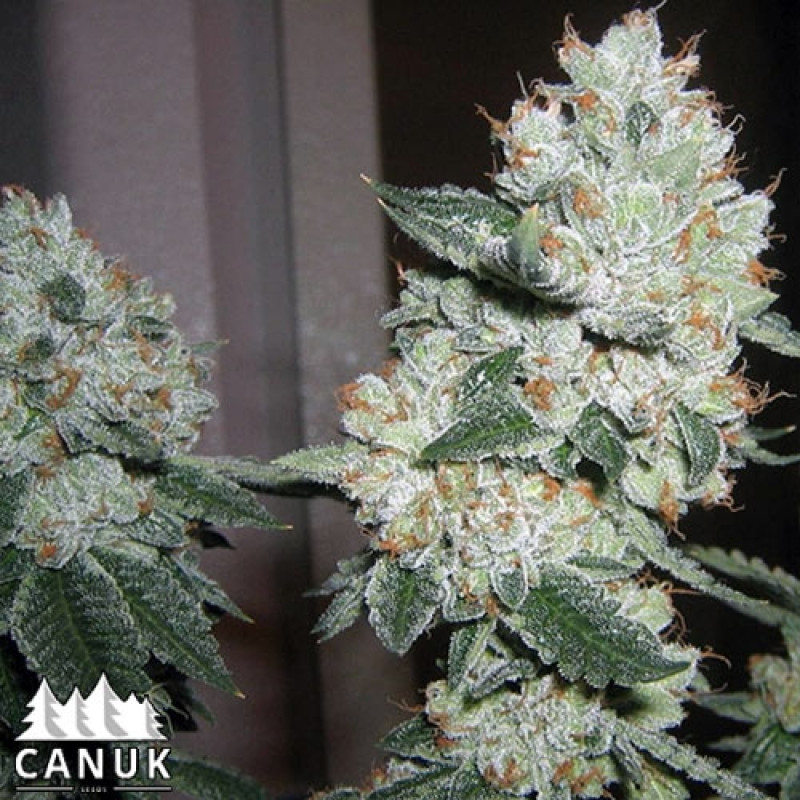 The True OG Feminized Seeds (Canuk Seeds) - ELITE STRAIN