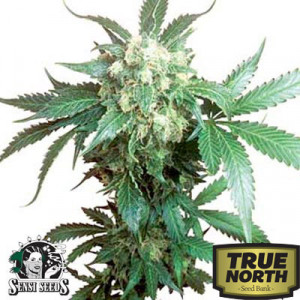 Black Domina Regular Seeds (Sensi Seeds)