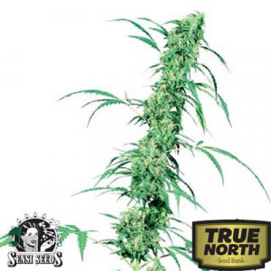 Fruity Juice Regular Seeds (Sensi Seeds)