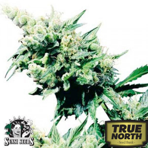 Hash Plant Regular Seeds (Sensi Seeds)