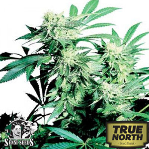 Skunk Kush Regular Seeds (Sensi Seeds)
