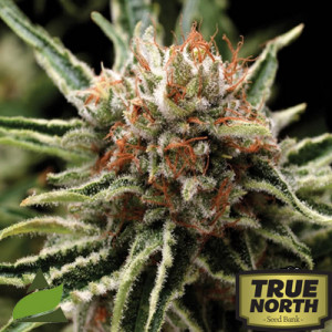 Tiburon (Shark) Feminized Seeds (Pyramid Seeds)