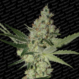 Acid Feminized Seeds (Paradise Seeds)