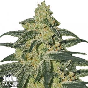 Afghan Hash Plant Regular Seeds (Canuk Seeds) - ELITE STRAIN