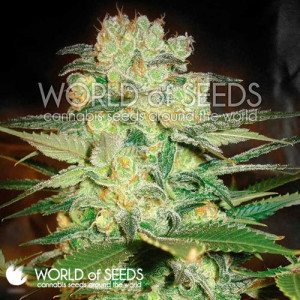Afghan Kush x White Widow Feminized Seeds (World of Seeds)