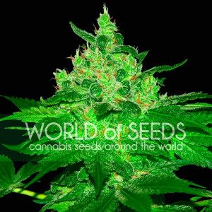Afghan Kush Feminized Seeds (World of Seeds)