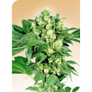 Afghani #1 REGULAR Seeds (Sensi Seeds)