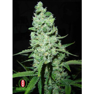 AK47 Feminized Seeds (Serious Seeds)