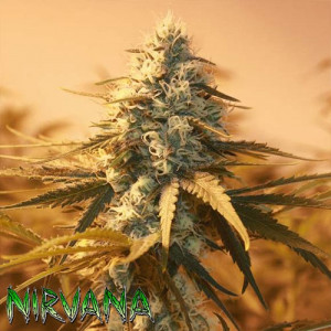 AK48 FEMINIZED Seeds (Nirvana Seeds)