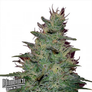 AK Automatic Feminized Seeds (BlimBurn Seeds)