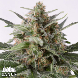 Critical Mass Autoflowering Feminized Seeds (Canuk Seeds)