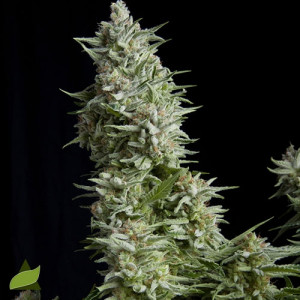 Alpujarrena FEMINIZED Seeds (Pyramid Seeds)