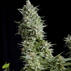 Alpujarrena FEMINIZED Seeds (Pyramid Seeds)