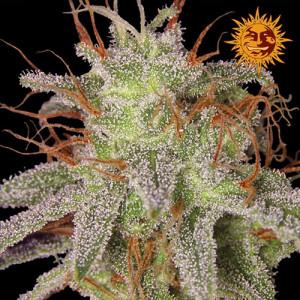 Amnesia Lemon Feminized Seeds (Barney's Farm)