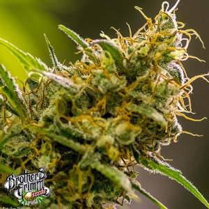 Apollo Haze REGULAR Seeds (Brothers Grimm Seeds)