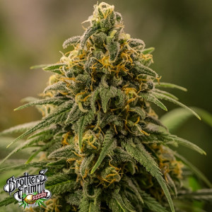 Apollo XX FEMINIZED Seeds (Brothers Grimm Seeds)