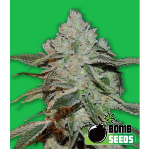 Atomic Bomb Feminized Seeds (Bomb Seeds)
