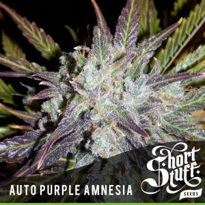 AUTO Purple Amnesia FEMINIZED Seeds (Shortstuff Seeds)