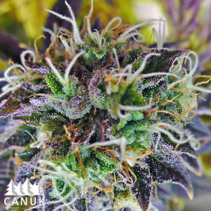 Auto Purple Kush Feminized Seeds (Canuk Seeds)