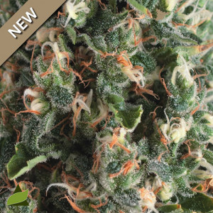 Super OG Kush AUTO FEMINIZED Seeds (Pyramid Seeds)