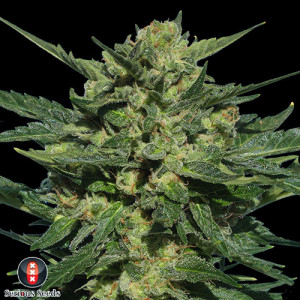AUTO White Russian FEMINIZED Seeds (Serious Seeds)