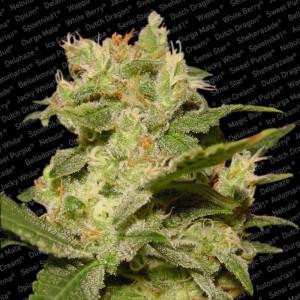 Auto Jack Autoflowering Feminized Seeds (Paradise Seeds)