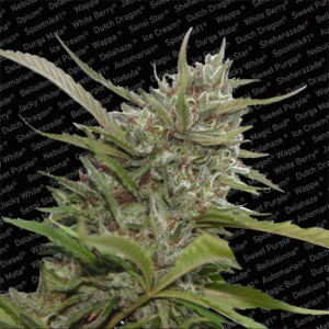 Auto Whiteberry Autoflowering Feminized Seeds (Paradise Seeds)