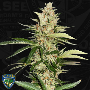 Banana Candy Krush FEMINIZED Seeds (T.H. Seeds)